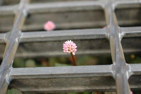 排水溝の花